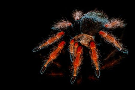 Photo for Black and red hairy spider on isolated black background with reflection. Close up big red tarantula Theraphosidae. - Royalty Free Image