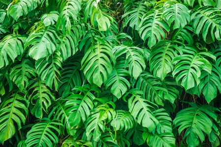 Photo for Tropical leaves Monstera, Swiss cheese plant. Green Leaves background - Royalty Free Image