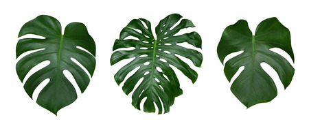 Photo for Monstera plant leaves, the tropical evergreen vine isolated on white background, clipping path included - Royalty Free Image