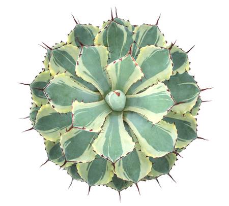 Photo pour Cactus succulent plant top view isolated on white background, clipping path included - image libre de droit