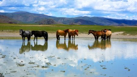 mongolian horses in vast grassland standing in water, mongolia
