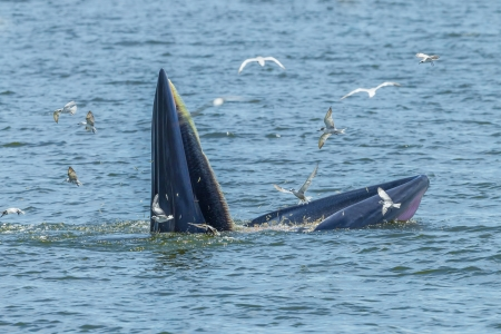 Close up of Bryde s whale full open her mount