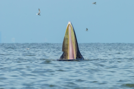 Close up of Bryde s whale open her mount with baleen inside