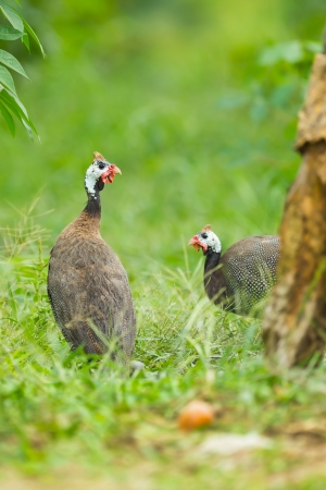 Couple of Helmuted Guinea Fowl  Numida meleagris