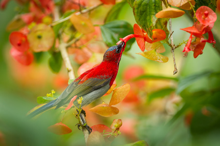 Photo pour Crimson Sunbird (Aethopyga siparaja) sucking the flower in nature at Kitchakoot mountain national park,Thailand - image libre de droit