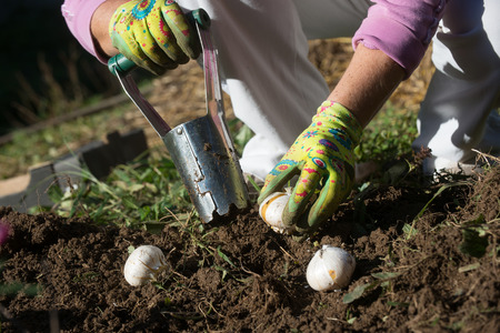 Photo for Planting bulbs with flower bulb planter outdoors in garden. Use of garden tools. - Royalty Free Image