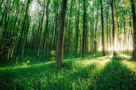 Photo pour spring forest trees. nature green wood sunlight backgrounds. - image libre de droit