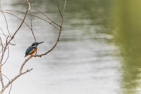 Kingfisher colorful. Blue-green bird dropped down to the stream and came immediately. It flapping fly with a fish pass up.