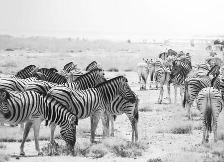 Monochrome Zebras