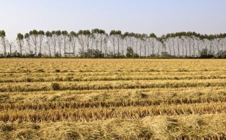 Row of poplars along a harvested rice field  Lomellina, North Italy
