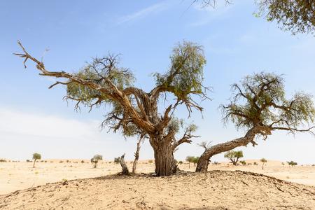 Trees among sand dunes in Rub al-Khali desert, Dhofar region  Oman