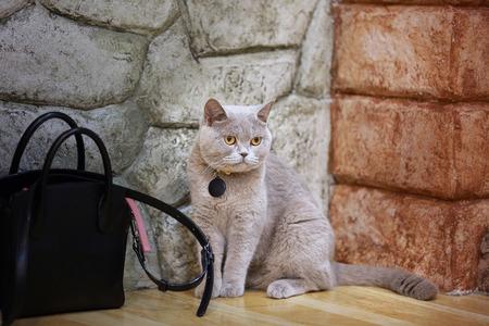 Young crazy surprised cat make big eyes closeup. American shorthair surprised cat or kitten funny face big eyes. Young cat looking surprised.