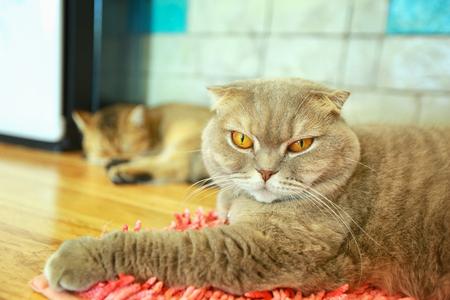 Young crazy surprised cat make big eyes closeup. American shorthair surprised cat or kitten funny face big eyes. Young cat looking surprised