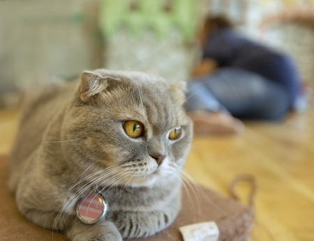 Young crazy surprised cat make big eyes closeup. American shorthair surprised cat or kitten funny face big eyes. Young cat looking surprised and scared,domestic cat.