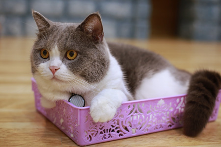 Young crazy surprised cat make big eyes closeup. American shorthair surprised cat or kitten funny face big eyes. Young cat looking surprised and scared in plastics basket,domestic cat.