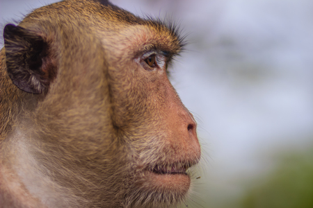Close up to face of Long-tailed macaque or Crab-eating macaque (Macaca fascicularis) monkey in nature forest. Portrait of cute monkey with blurry background.