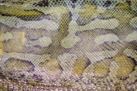 Dried snake skin of Blood Python (Python curtus) for background. Python curtus is a species of the family Pythonidae, a nonvenomous snake found in Southeast Asia.