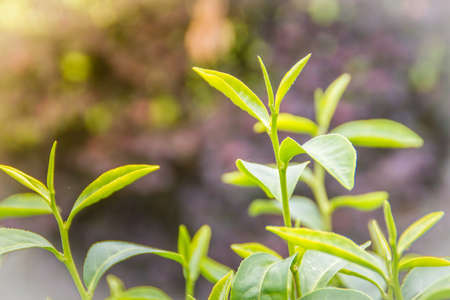 Photo for Young shoots of green tea leaves in the morning before harvesting. The green tea harvested in taste and value from the young shoots leaves is known to produce the highest quality green tea leaves. - Royalty Free Image