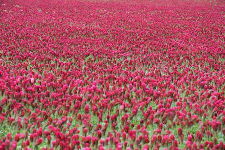 very beautiful red crimson clover field