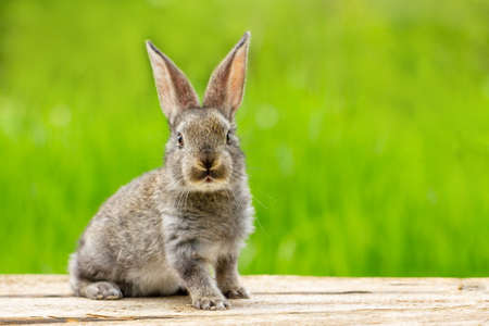 Photo for Portrait of a cute fluffy gray rabbit with ears on a natural green background - Royalty Free Image
