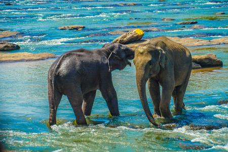 Foto de Wild elephant image (Sri Lanka Pin'nawara) - Imagen libre de derechos