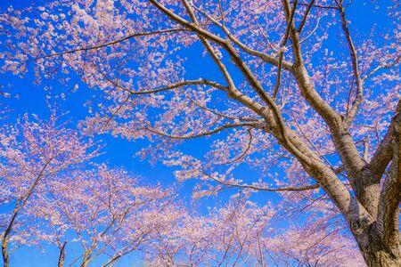 Foto de Full bloom of the cherry tree and sunny blue sky (N. Bell Airport) - Imagen libre de derechos