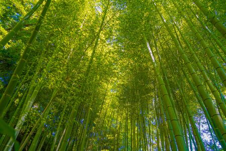 Photo pour The sun peek from bamboo grove - image libre de droit