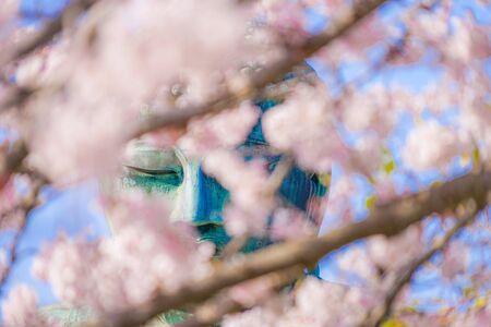 Sakura of the Great Buddha of Kamakura and full bloom