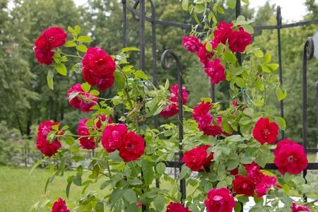 blooming rose hip