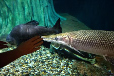 Woman in the oceanarium near alligator gar fish