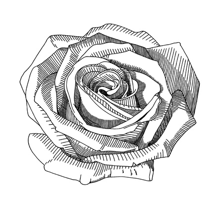 hand draw sketch rose