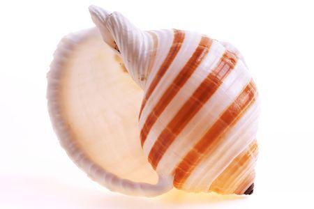 Isolated seashel on white background