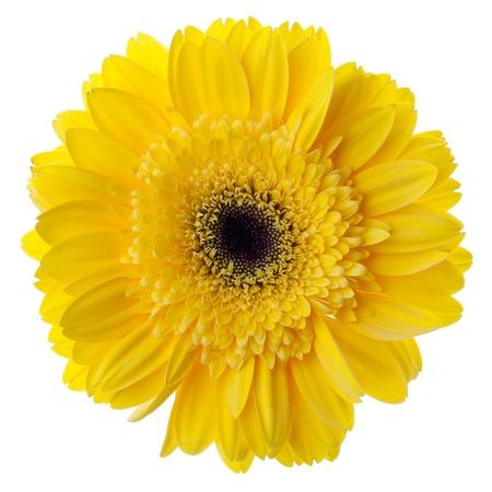 Yellow gerbera flower closeup. Isolated on white