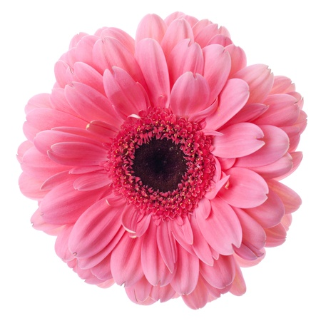 Pink gerbera flower closeup. Isolated on white