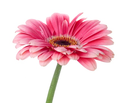 Photo pour Pink gerbera flower on stem. Isolated on white - image libre de droit