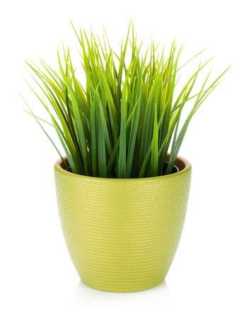Decorative grass in flowerpot. Isolated on white background