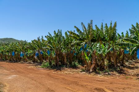 Foto für on a banana plantation in Australia, bananas are protected from Panama disease by plastic bags - Lizenzfreies Bild