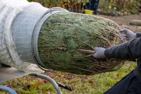 Foto de a man pulling a freshly sawn fir tree through a tube to wrap it in a net - Imagen libre de derechos