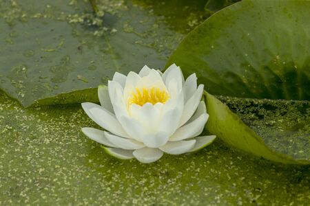 Photo pour Waterlily an ornamental aquatic plant with large round floating leaves and large, typically cup-shaped, floating flowers. - image libre de droit