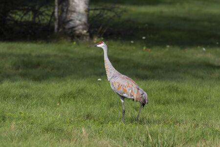 Photo pour The sandhill crane (Antigone canadensis) on wet meadow - image libre de droit