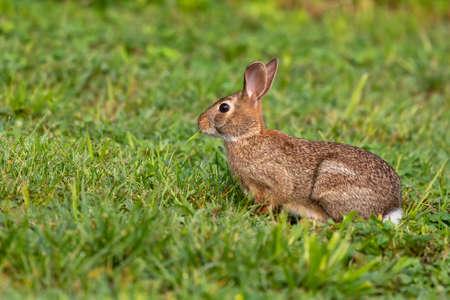 Photo pour Wild rabbit on a morning pasture - image libre de droit