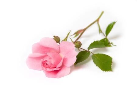 Photo pour Pink rose on white background - image libre de droit