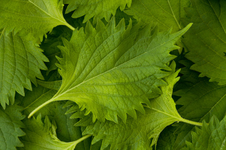 Photo for fresh green shiso leaf background - Royalty Free Image