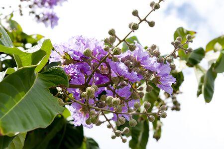 Photo pour color Violet of Queen's crape myrtle flower. - image libre de droit
