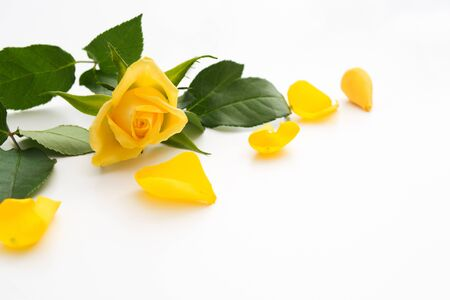 Foto de Yellow rose with green leaves and yellow petals around. Copy space. Soft focus. Mother's day or valentine's day concept - Imagen libre de derechos
