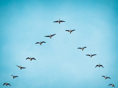 Photo pour A flock skein of Canada geese flying in V formation for effective energy conservation. Vintage look. Location: Lund, southern Sweden. - image libre de droit
