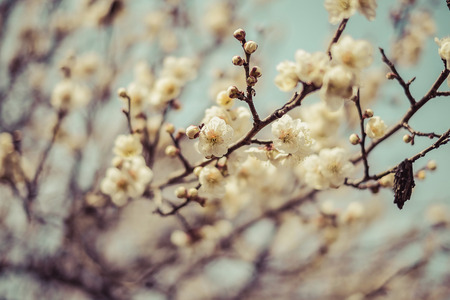 Photo pour Beautiful flowering Japanese cherry - Sakura. Background with flowers on a spring day,vintage - image libre de droit