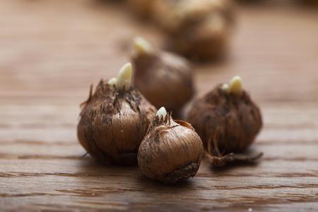 macro crocus bulbs on wooden table in greenhouse