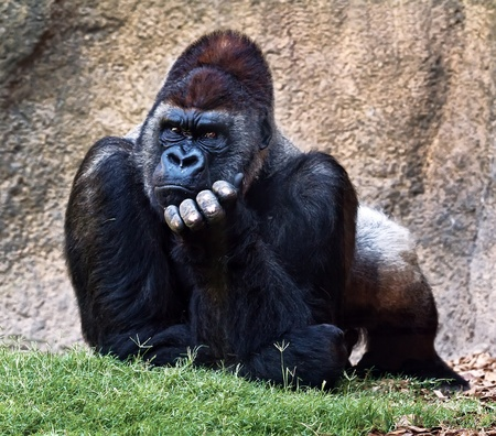 Silverback gorilla. Taken Bioparc Valencia, Spain.