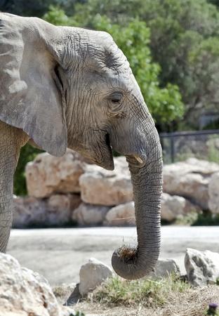 Portrait of an African elephant Loxodonta Africana